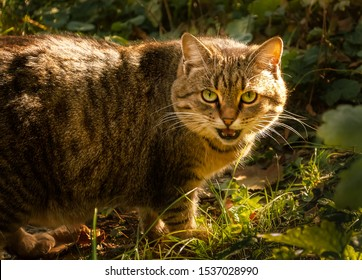 Alley tiger-stripped cat looking at the camera. Wild cat is hunting in its natural habitat. Fat tabby walking through the garden