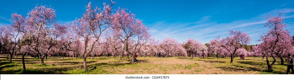 Alleys of blooming almond trees with pink flowers in Madrid, Spain. Pink almond trees in bloom at Quinta de los Molinos city park downtown Madrid at Alcala street in early spring.