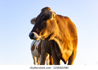 allgau cows at sunset with blue sky on bavaria countryside at summer warm evening