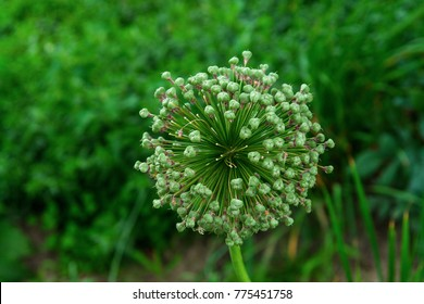 Alliaceae onion flower growing in the garden of an organic farm. Fireworks shaped flower of green color.