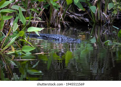 Alligator Approaching Stealthily Through the Dark Waters of Mangroves in Everglades National Park, Florida, USA