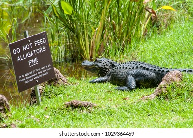 Alligator basking by warning sign, Clyde Butcher's Gallery car park, Tamiami Trail, Big Cypress National Preserve, Collier County, Florida. He faces the lagoon, ready for a quick getaway if disturbed