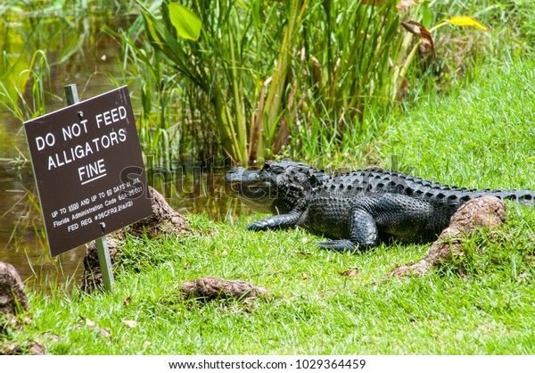Alligator Basking By Warning Sign Clyde Stock Photo (Edit Now
