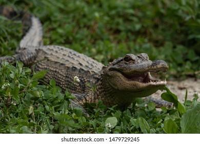 Alligator basking in the Sun.