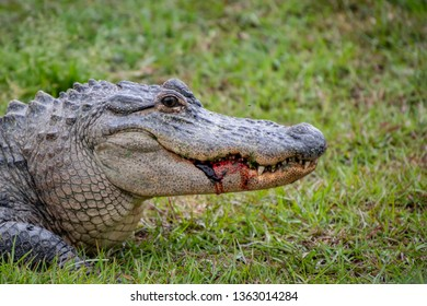 Alligator with blood dripping from mouth