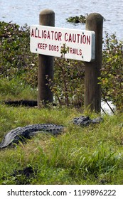 Alligator by caution sign