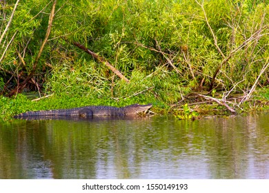 Alligator by riverbank in Florida, USA
