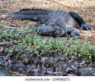 Alligator close-up profile view on ground with foreground foliage displaying head, teeth, nose, eyes, tail, paws, in its surrounding and environment. Looking at the camera.