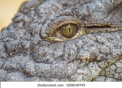 Alligator or crocodile animals eyes closeup, dangerous alligator eye detail