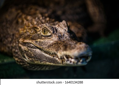 Alligator or crocodile concept. Eye of alligator and teeth on head.  Crocodile is dangerous animals and large aquatic reptiles