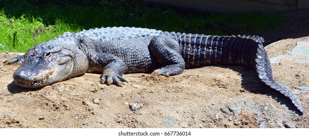 An alligator is a crocodilian in the genus Alligator of the family Alligatoridae.