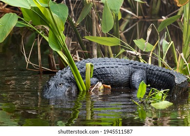 Alligator Curled Around Mangrove Plants in the Everglades National Park in Florida, USA