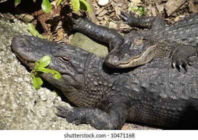 Alligator Family