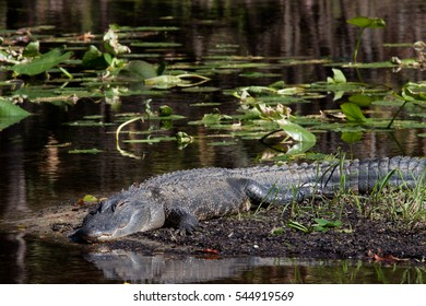 alligator in Florida park laying in wait for unsuspecting prey