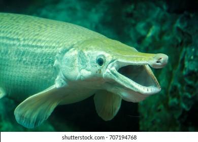 the alligator gar, a big fish.