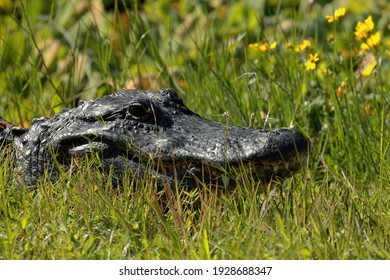 alligator in the grass close up with yellow flowers in the background