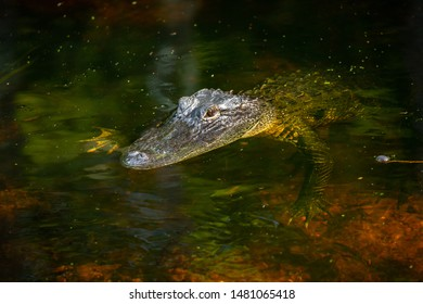 Alligator head in swamp. Florida. USA.