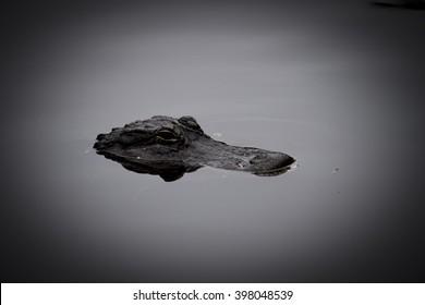alligator head in water in swamp