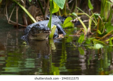 Alligator Hiding Among the Mangrove Plants of Everglades National Park in Florida, USA