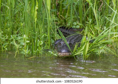 Alligator hiding behind grass in swamp in Jean Lafitte National Park, New Orleans, Louisiana, USA. Alligator is peering at viewer from behind grass.