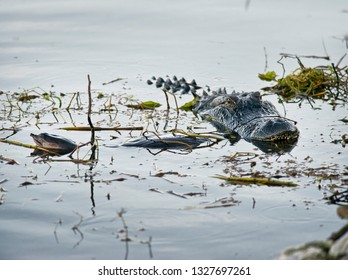 Alligator with a large turtle in its mouth
