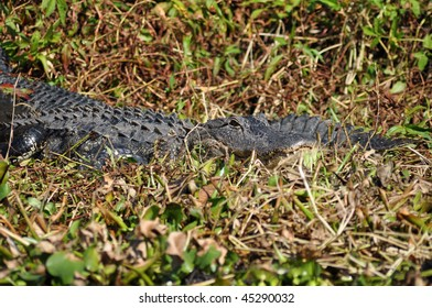 an alligator lies in a swamp in southern Florida