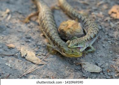 Alligator lizard pair closeup biting, California or Southern alligator lizards mating behavior, fighting behavior