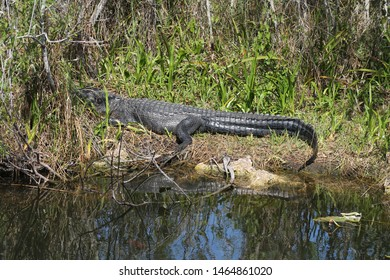 Alligator lying in the sun and his reflection in the Everglades
