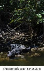 Alligator (Alligator mississippiensis) Resting, Big Cypress National Preserve, Florida, USA