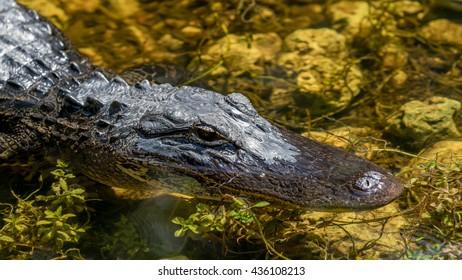Alligator (Alligator mississippiensis) Swimming, Big Cypress National Preserve, Florida