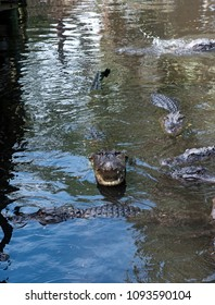 Alligator with mouth open exposing teeth