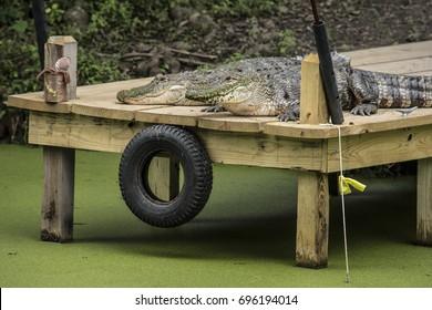 Alligator on a Dock
