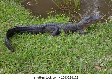 Alligator on grass next to swamp in Jean Lafitte National Park, New Orleans, Louisiana, USA. Alligator is relaxing on grass next to shore.