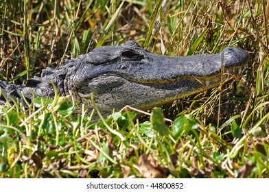 an alligator pops his head out of a swamp in southern florida