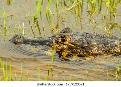 Alligator resting in a wetland on the banks of a river in the Pantanal of Mato Grosso, Pocone, Mato Grosso, Brazil on November 24, 2007.