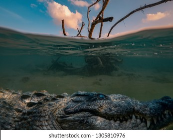 Alligator Saltwater crocodile hiding under water line, dry tree in sea water with sunset clouds on background, underwater shot