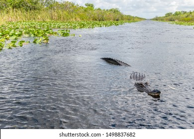 Alligator seen from airboat in Everglades national park, Florida, United States of America