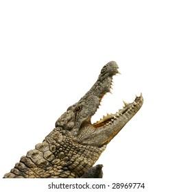 alligator shows teeth