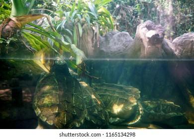 Alligator snapping turtle in an aquarium