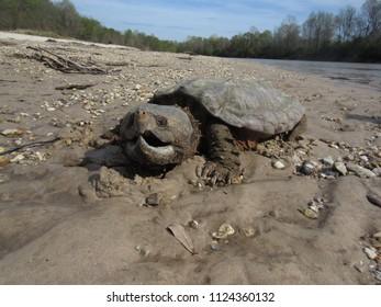 "Alligator Snapping turtle (Macrochelys temminckii"" sitting on sandbar, Mississippi"