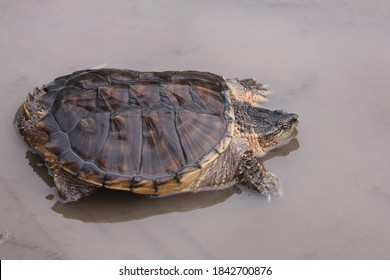 The alligator snapping turtle is native to freshwater habitats in the United States.