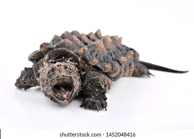 alligator snapping turtle open mouth on white background
