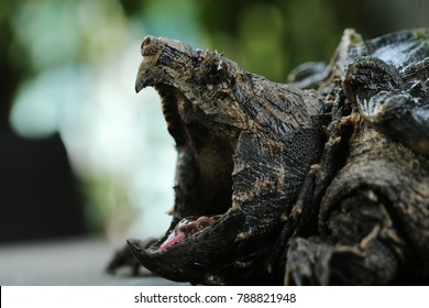 Alligator Snapping Turtle wallpaper background