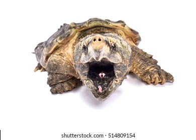 Alligator snapping turtle,Macrochelys temminckii