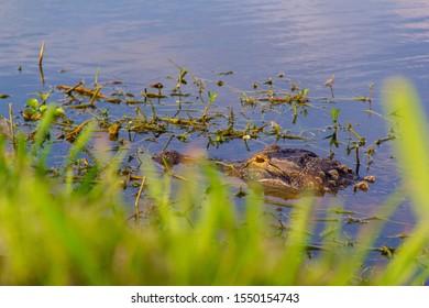 An alligator sneaks a peek