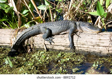 Alligator in Sun in the Everglades