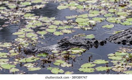 Alligator in a Swamp, Big Cypress, Florida