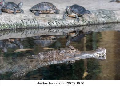 alligator in a swamp, Florida Alligator in close up portrait, crocodile animals eyes closeup. Alligator sunbathing on grass, Closeup portrait of crocodile head, Alligator or crocodile concept,