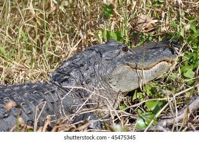 an alligator in a swamp in southern florida