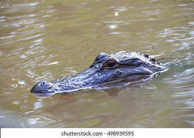 Alligator swimming in the marshy swamp water of a Louisiana bayou.  Natural wildlife in outdoor setting.